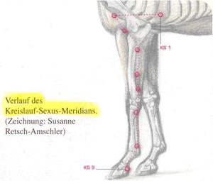 Kreislauf Sexus Meridian beim Pferd