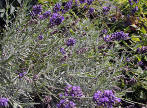 Lavendel-Lavendula