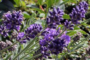 Lavendel, eine wirkungsvolle Heilpflanze