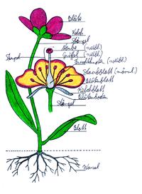 Schema Pflanzenaufbau