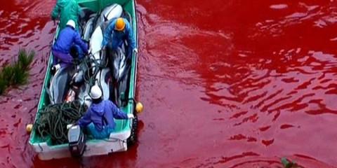 Endloses Delfin-Massaker in Taiji (Japan)