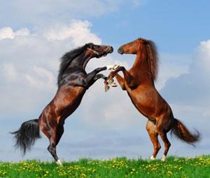 Pferde beim Auskämpfen der Rangordnung