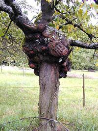 Auch ein Baum kann Krebs haben