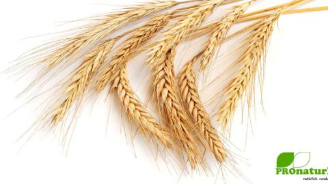 Dinkel, der besondere und GESUNDE Weizen!